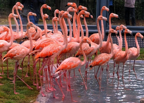 Photo taken on Sept. 28, 2011 shows flamingoes in the zoo of Jinan, capital of east China's Shandong Province. Some 30 newly-introduced African flamingoes walked out of cages for the first time on Wednesday to adapt their new life in the zoo. (Xinhua)