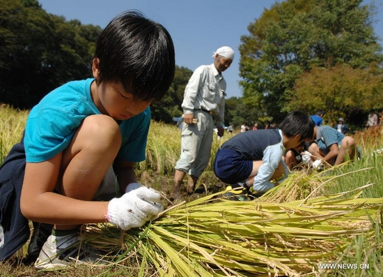 Local pupils tie the rice at Jindai Botanical Garden in Chofu, Japan, Sept. 28, 2011. A group of pupils reap the rice they planted this May in Jindai Botanical Garden on Wednesday. (Xinhua/Kenichiro Seki)