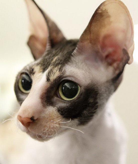 A Cornish Rex looks out from