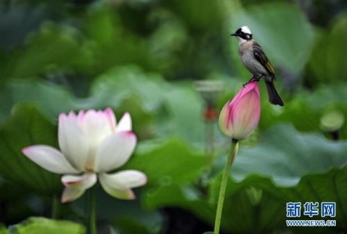 A Chinese Bulbul is standing on a lotus in the Taipei Botanical Garden. (Xinhua/Wu Jingteng)
