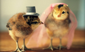 Cute chicks' fashion show