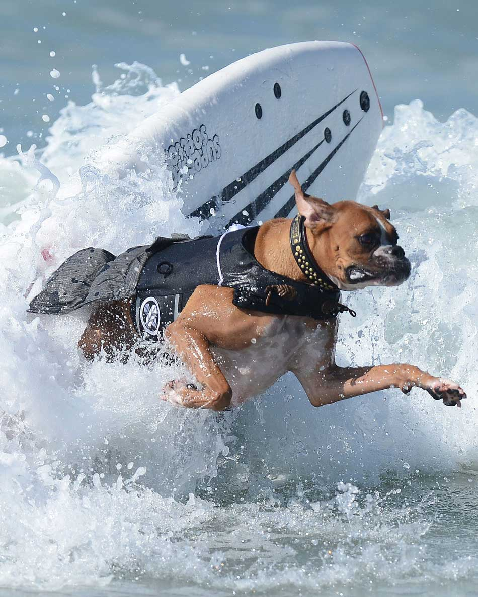 Recently the annual dogs' suffering competition is held in Huntington Beach of the United States. A total of 48 dogs took part in this competition which attracts about 1,500 spectators. (Xinhua/ Reuters)