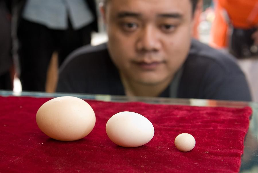 A man watches an egg of an ornamental hen (R) comparing with other two eggs of normal size in Chongqing, southwest China. An ornamental hen gave birth to an egg that is 2 centimeters long on Oct. 15, 2012. The egg weighs 2.58 grams and it is smaller than a coin of 1 Jiao. He Daiyou, owner of the ornamental hen, said that he would try to apply for the Guinness World Record for the world's smallest chicken egg. (Xinhua/Liu Chan)
