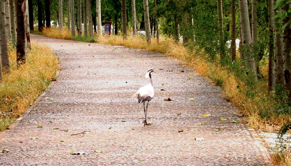 A heron strolls the pathway at Nanhaizi Park's David Deer Park.(CRIENGLISH.com/William Wang)