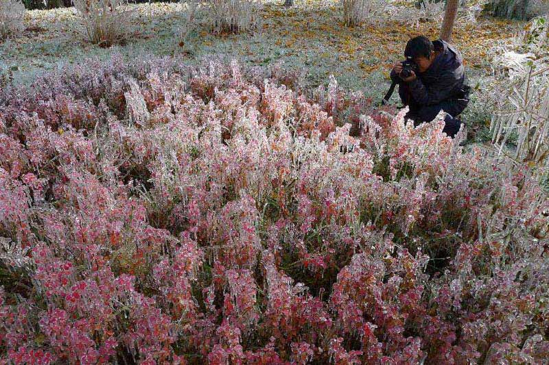 A citizen takes photos of a clump of bushes which are glazed with ice in Hami City, northwest China's Xinjiang Uygur Autonomous Region, Nov. 4, 2012. Glaze ice and icicles are seen in Hami after strong wind and cold weather swept the city. (Xinhua/Cai Zengle)