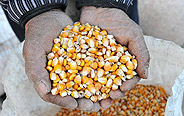 Shanxi's grain production to hit record high