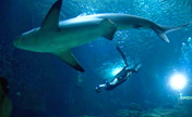 Diving champion swims with sharks