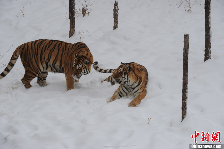 Tigers in Changchun Wildlife Park play in the snow on Nov.14 2012. Changchun was covered with a thick layer of snow after two consecutive days of blizzard. Even the wild animals were getting excited by the white world. (Chinanews/Zhangyao)