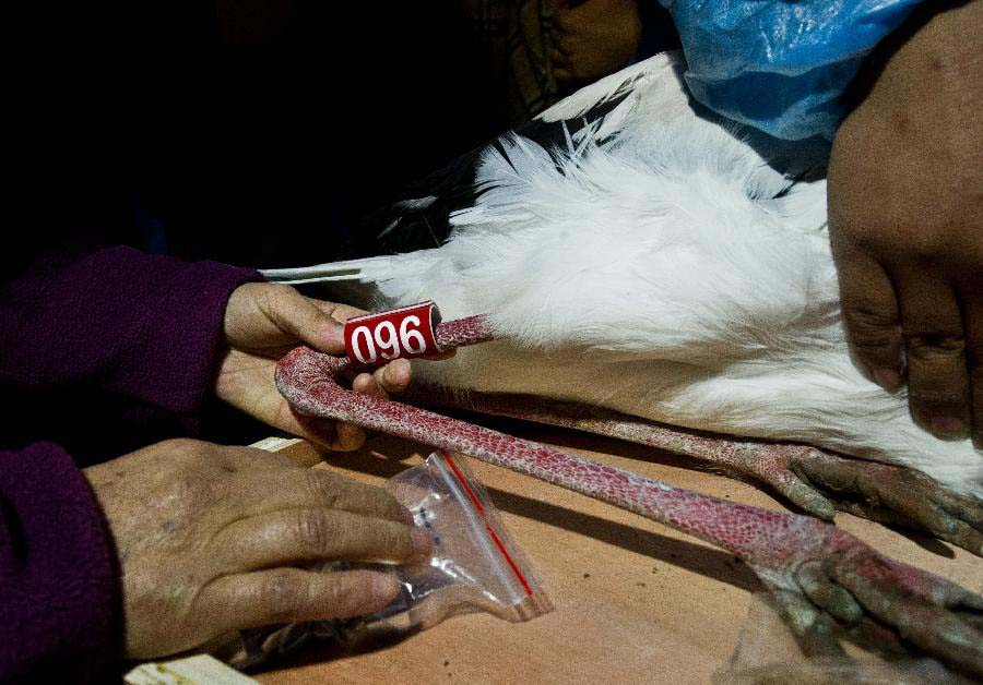 Rescuers tag an oriental white stork in Tianjin, north China, Nov. 20, 2012. A total of 13 oriental white storks which were saved by a wild animal rescue and breeding agency in Tianjin were tagged for being traced. They will be released to the nature on Nov. 21. (Xinhua/Yue Yuewei)