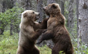 Two grizzly bears fight for salmon lunch