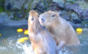 Capybaras Relaxing In Japanese Hot Springs