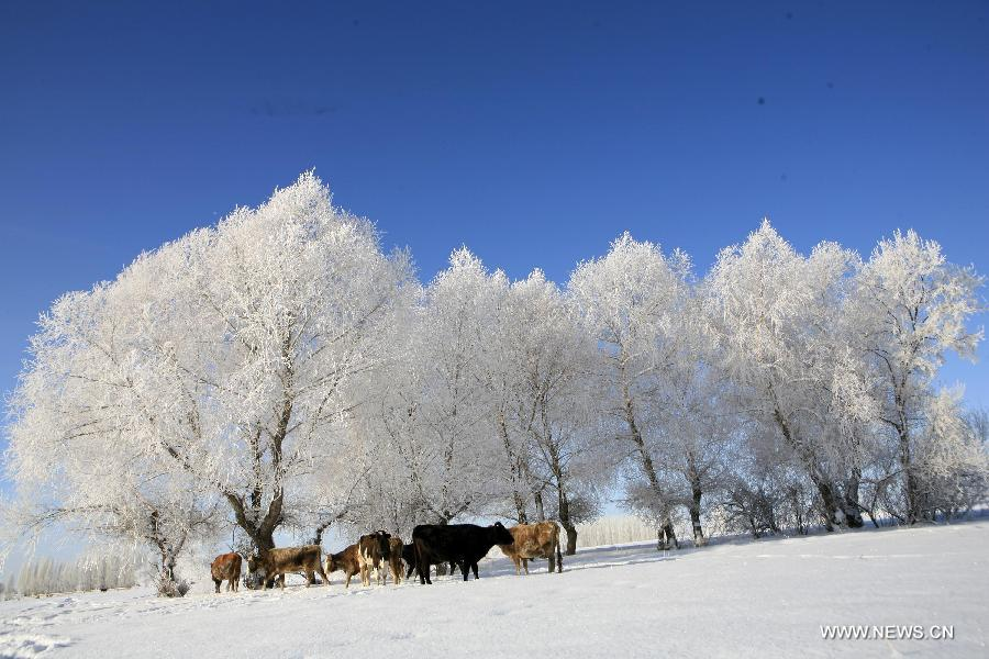 Photo taken on Dec. 6 shows the rime scenery at Xemirxek Town, Altay City, northwest China's Xinjiang Uygur Autonomous Region. Affected by the heavy snow and low temperature, Altay City received rime on Thursday. (Xinhua/Ye Erjiang)