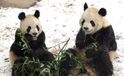 Snow brings joy to giant pandas