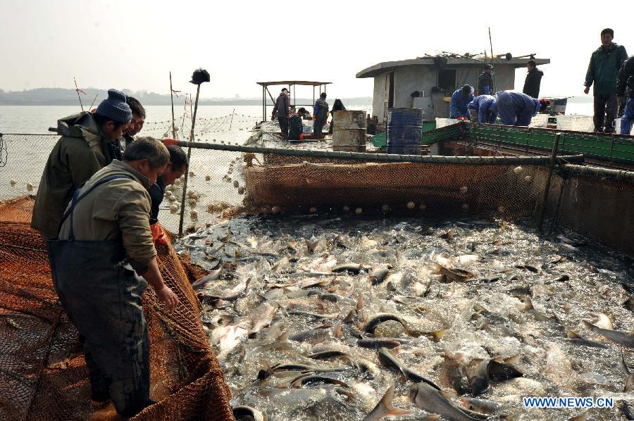 People fish on the Junshan Lake in Jinxian County, east China's Jiangxi Province, Jan. 10, 2013. The winter fish harvest of the lake began on Thursday and more than 60,000 kilograms of fish were caught on the first day. (Xinhua/Wan Chaohui)