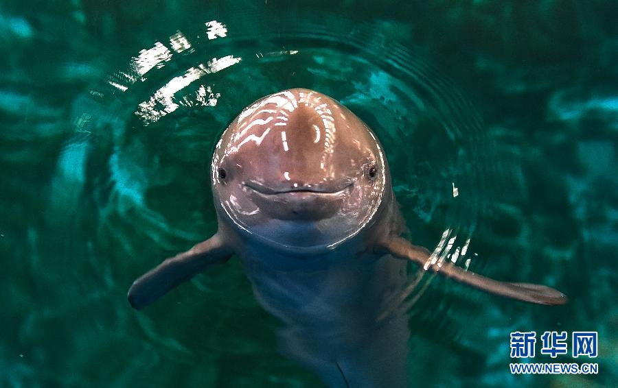 This river dolphin lives in Wuhan aquarium, the only place in the world for artificial--rearing river dolphins. At present there are seven river dolphins in the aquarium. (Xinhua/Cheng Min)