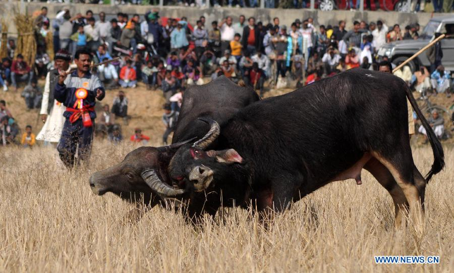 "Villagers watch a traditional buffalo fight at Ahatguri, some 80 km away from Guwahati, capital city of India's northeastern state of Assam, Jan. 15, 2013. The age-old buffalo fight is organized on the occasion of the harvest festival ""Bhogali Bihu"". (Xinhua)"