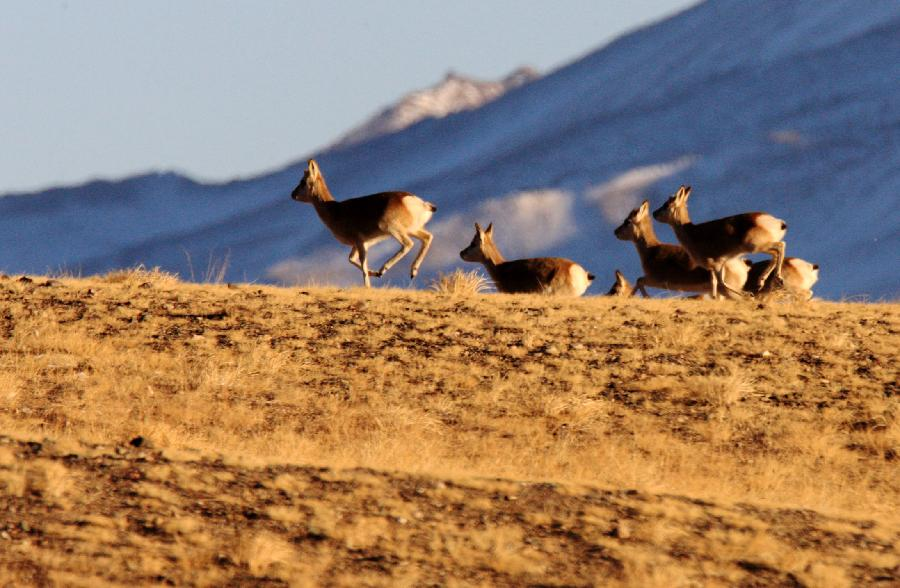 A flock of Tibetan antelope are seen on Haltern plateau in Aksai Kazak Autonomous Prefecture of northwest China's Gansu Province, Jan. 16, 2013. (Xinhua/Hayrat)