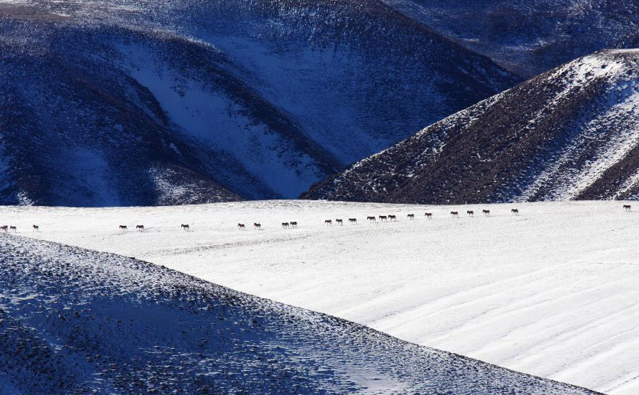 A flock of Kiang, wild asses which are found on the Tibetan plateau, are seen in Aksai Kazak Autonomous Prefecture of northwest China's Gansu Province, Jan. 16, 2013. (Xinhua/Hayrat)