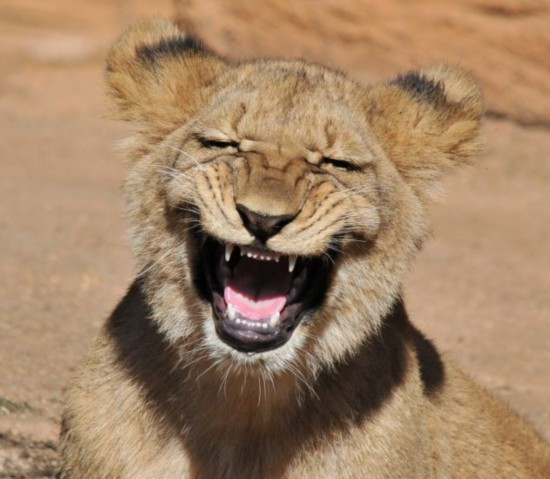 An one-year-old lion cub is snapped showing off his huge grin at the Riverbanks Zoo in Columbia, South Carolina. Amateur photographer Randy Rimland, who captured the image admits it was probably yawning. (Source: huanqiu.com)
