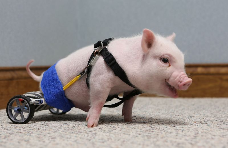This little paralyzed piggy gets a wheelchair. (Photo/China.com.cn)