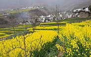 Blooming rape flowers in China's Sichuan