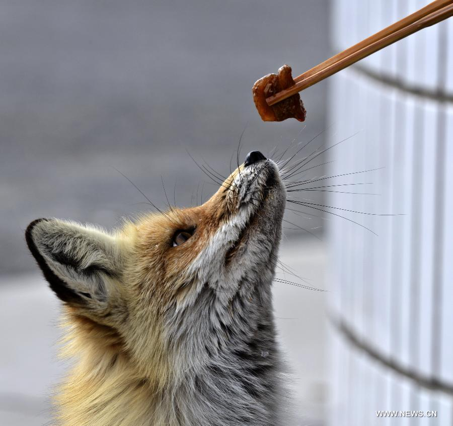 Hungry foxes seek food from oil workers