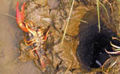 Yunnan fights against crayfish invasion