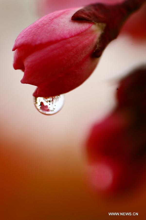 Photo taken on March 22, 2013 shows a drop of water hanging on a flower bud in Nantong, east China's Jiangsu Province. (Xinhua/Cui Genyuan)