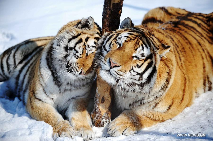 Siberian tigers frolic in the Siberian Tiger Park, world's largest Siberian tiger artificial breeding base, in Harbin, capital of northeast China's Heilongjiang Province, March 22, 2013. Siberian tigers, also known as Amur or Manchurian tigers, mainly live in east Russia, northeast China and northern part of the Korean Peninsula. (Xinhua/Wang Jianwei)