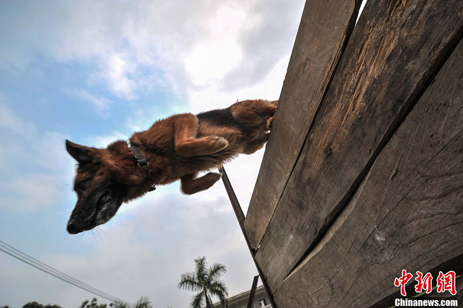 "Police dog ""Jack"" jumps over the obstacles. (Hong Jianpeng )"