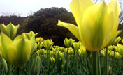 Tulip flowers blossom in Wuxi City