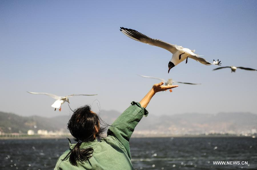 A visitor feeds a black-headed gull by the Dianchi Lake in Kunming, capital of southwest China's Yunnan Province, April 4, 2013, the first day of the three-day Qingming Festival holidays. (Xinhua/Zhang Ke Ren)
