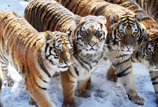 Two more reserves for Siberian tigers