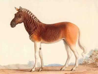 Quagga:half zebra & half horse (extinct since 1883)