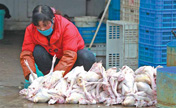 Avian flu quiets song in bird market