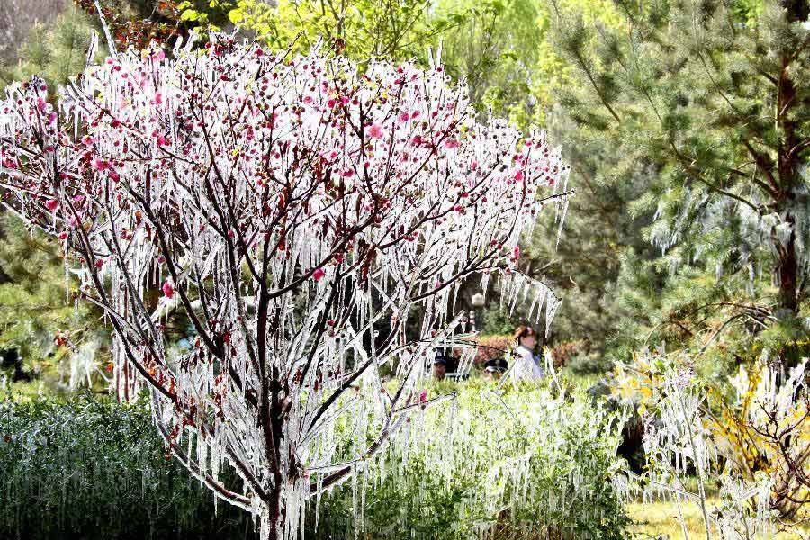 Photo taken on April 8, 2013 shows icicles on tree branches in Hami, northwest China's Xinjiang Uygur Autonomous Region. Icicles are seen on tree branches and blossoms in Haimi due to sharp drop of temperature. (Xinhua/Cai Zengle)