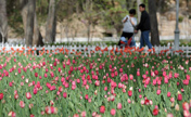 Beautiful tulips at Yingze Park