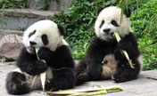 Quake has limited effect on panda habitats