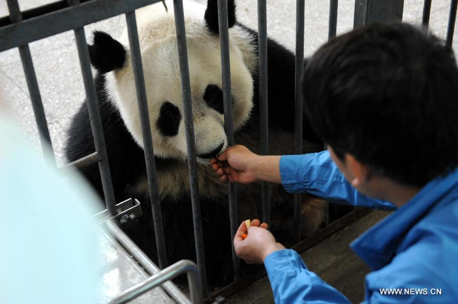 A giant panda is fed at the Bifengxia Panda Base, located about 20 km from the epicenter of a 7.0-magnitude earthquake on April 20, in Ya'an City, southwest China's Sichuan Province, April 24, 2013. Giant panda habitats near the epicenter of the earthquake that jolted Lushan County of Ya'an City have suffered only minor effects from the natural disaster. All 61 giant pandas at Bifengxia Panda Base are safe, according to local authorities. (Xinhua/Li Ziheng)