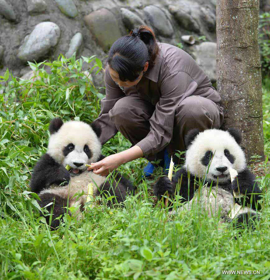 Panda cubs are fed at the Bifengxia Panda Base, located about 20 km from the epicenter of a 7.0-magnitude earthquake on April 20, in Ya'an City, southwest China's Sichuan Province, April 24, 2013. Giant panda habitats near the epicenter of the earthquake that jolted Lushan County of Ya'an City have suffered only minor effects from the natural disaster. All 61 giant pandas at Bifengxia Panda Base are safe, according to local authorities. (Xinhua/Li Ziheng)