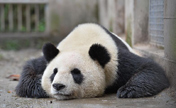 Giant pandas safe in quake-hit zone