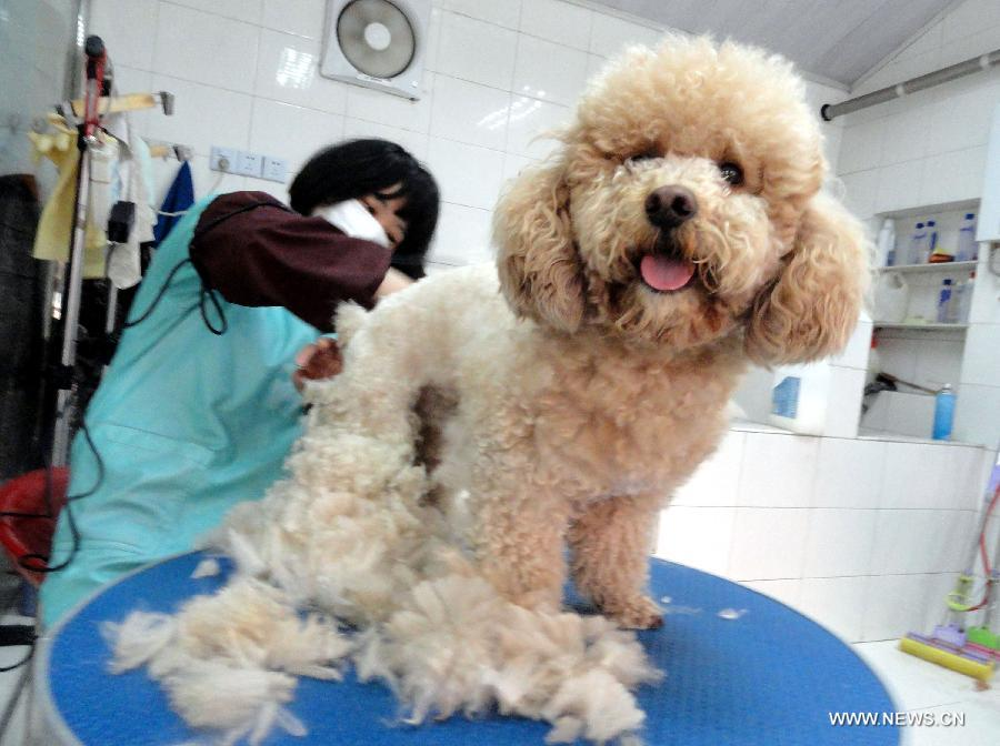 A dog recieves a hair trim at a pet beauty salon in Suzhou, east China's Jiangsu Province, May 5, 2013. Sunday is the beginning of the 7th solar term in Chinese lunar calendar, which indicates the coming of summer. Many people in Suzhou have their pets trimmed to spend the heat summer. (Xinhua/Wang Jiankang)