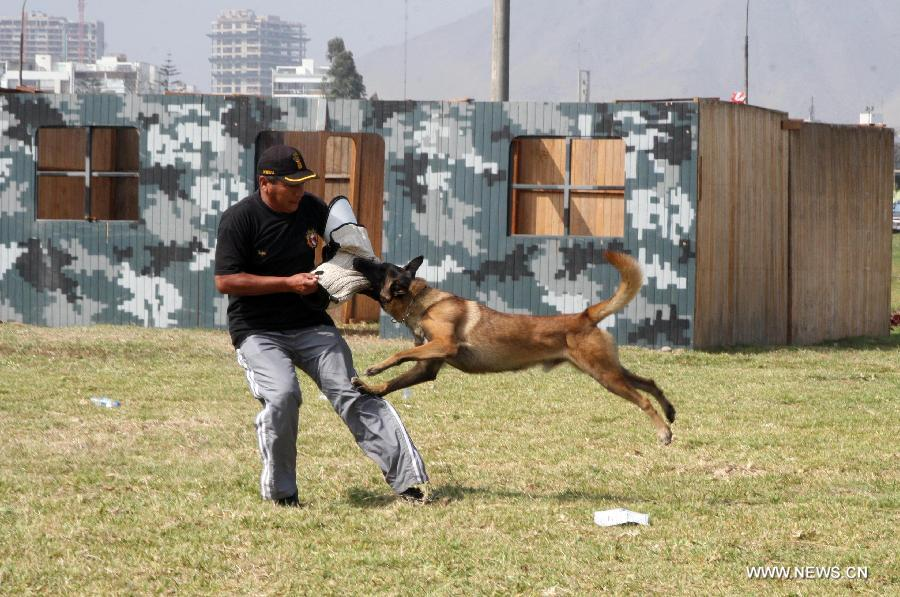 A canine unit officer participates in the 4th International Exhibition of Technology for Defense and Natural Disaster Prevention (SITDEF, by its Spanish Acronym) in the army headquarters, in San Borja district, department of Lima, Peru, on May 19, 2013. The SITDEF 2013 ran from May 15 to 19. (Xinhua/Luis Camacho)