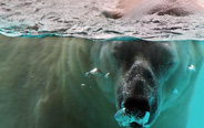 Polar bear Inuka moves into new home