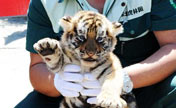 Cute tiger cubs taken under patronage in Harbin