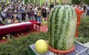 Watermelon weighing 50 kilograms takes the crown