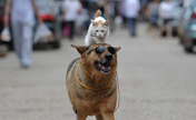 Cat hitches free ride on a dog