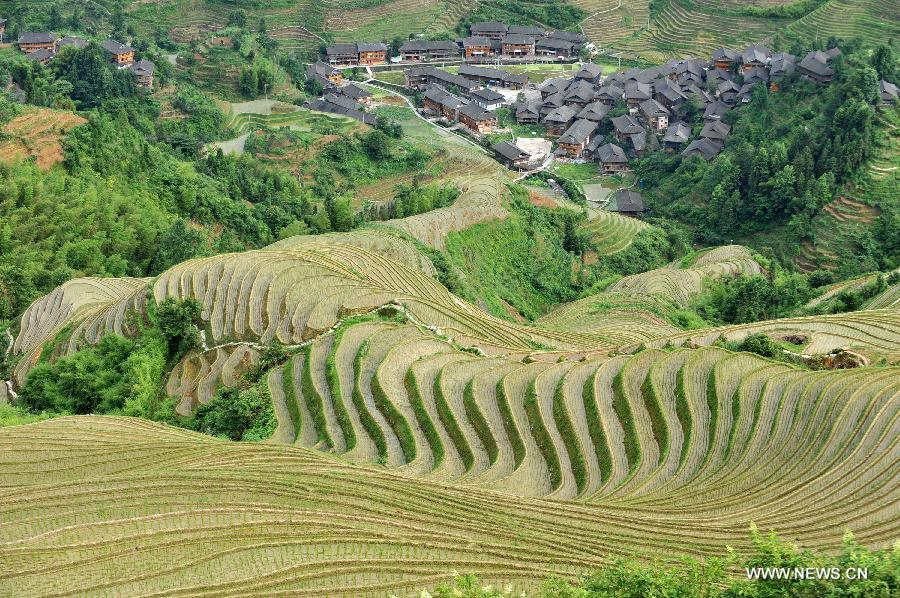 Photo taken on June 25, 2013 shows the terraced fields in Longsheng County of southwest China's Guangxi Zhuang Autonomous Region. The terraced fields in Longsheng County enjoyed a history of more than 650 years. (Xinhua/Lu Boan)