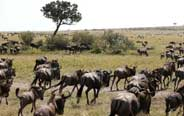 Annual migration of wildebeests in Africa