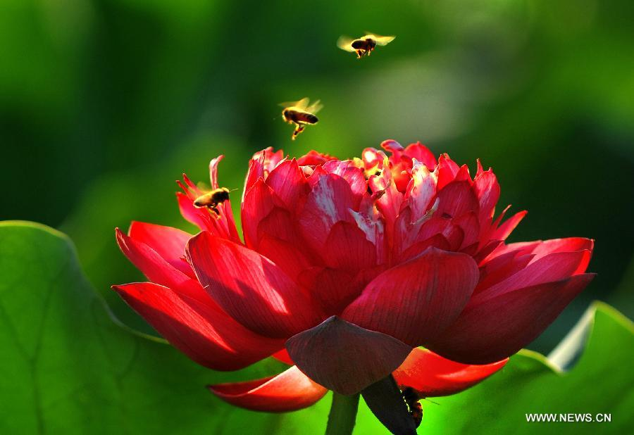 Honeybees gather pollen from a lotus flower in Hefei, east China's Anhui Province, July 12, 2013. Over 6.7 hectares of exquisite lotus are seen in Longquan lotus garden in Sanguai Village of Tangshu Township of Shucheng County, east China's Anhui Province recently.(Xinhua/Chen Li)